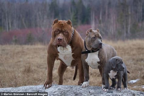 how to pitbull puppies to be guard dogs dynasty s is set to be the next big pit bull