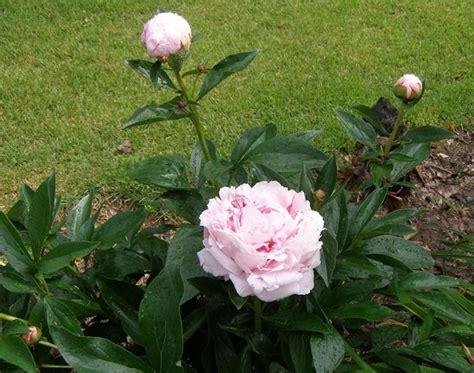 peonia in vaso piantare le peonie peonie peonia paeonia alhambra