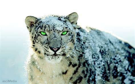 wallpaper mac tiger snow leopard wallpaper 1157524