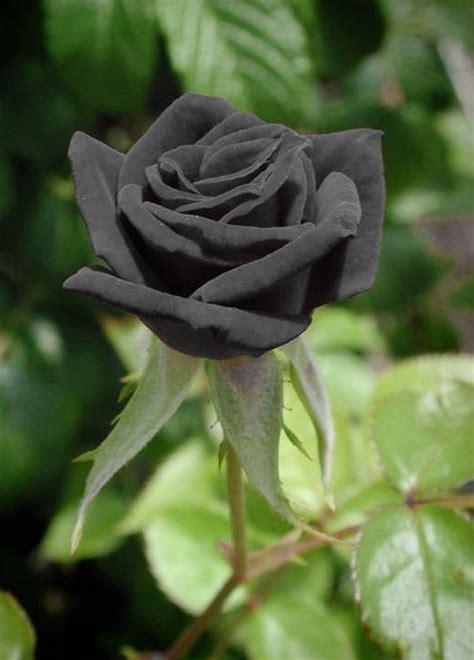 wallpaper bunga hitam galeri foto bunga mawar yang cantik pesona dunia