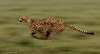 How Fast Does A Jaguar Run Why Are Cheetahs So Fast Animalanswers Co Uk