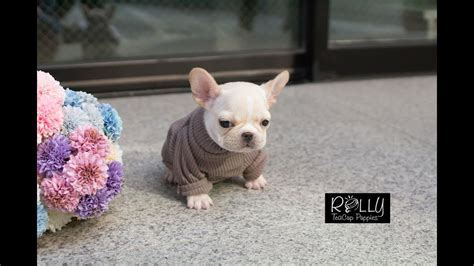 what are rolly teacup puppies amazing teacup frenchie ladybug rolly teacup puppies