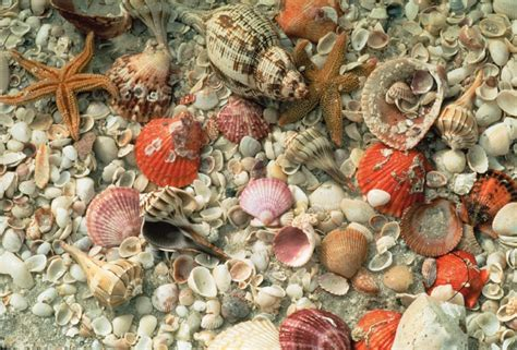 best beaches for seashells 9 reasons to take your shelling in fort myers sanibel
