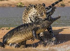 What Do Jaguars Prey On Big Cat Quiz