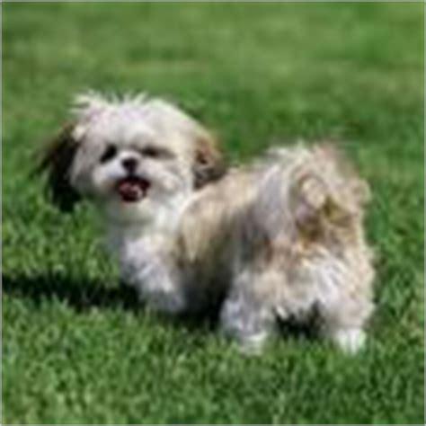 shih tzu perro precio comprar perros shih tzu madrid tienda de perros precios venta madrid