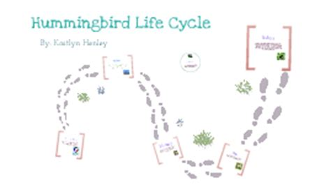 life cycle of a hummingbird