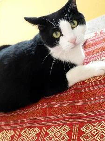 origin  tuxedo cats pets