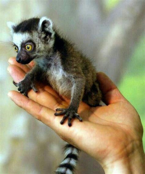 baby lemur baby lemer i love lemurs pinterest