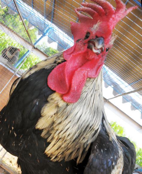 Bibit Ayam Ketawa kontes ayam ketawa nasional kaknas 2016 bebeja