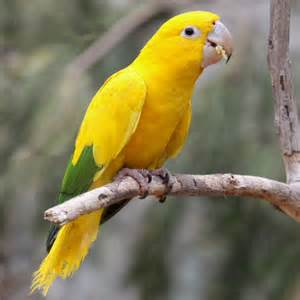 golden conure facts pet care behavior price pictures