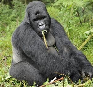 gorilla gorilla wildlife the wildlife