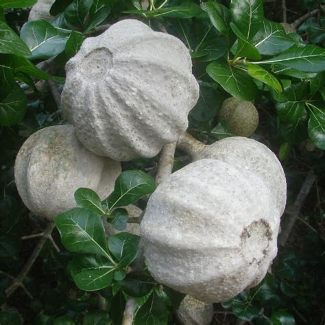 Gardenia Fruit Polynesian Produce Stand Live Transvaal Gardenia