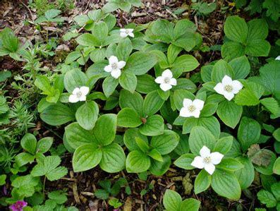 fiori di co primaverili la pianta mese il cornus canadensis paesaggi