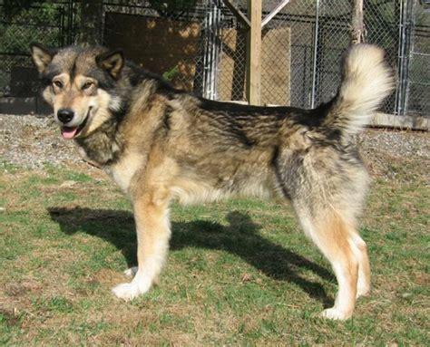 wolf german shepherd if you own or owned a wolf hybrid help page 7 german shepherd