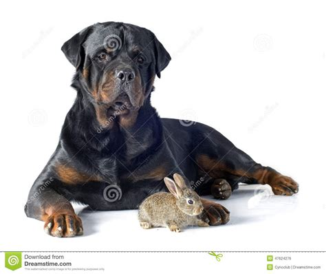 european rottweiler european rabbit and rottweiler stock photo image 47624276