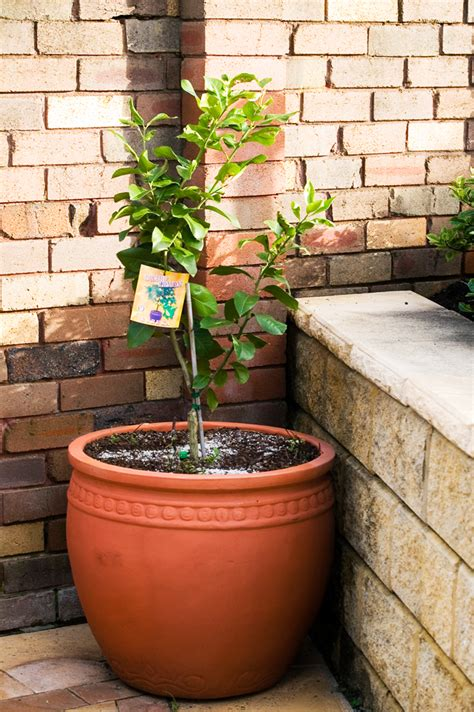 best fruit trees to grow in melbourne mini orchards burke s backyard
