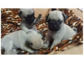 New born cute pug puppies for sale chennai find pets in india