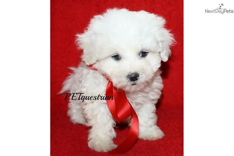 puppies for sale in grand forks nd shichon puppy for sale near grand forks dakota 0702867e 45a1