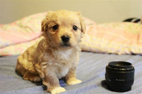 poodle chihuahua mix puppies chihuahua poodle mix information images and