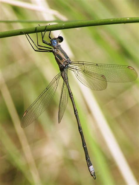 Common Dragonflies Of California california spreadwing arizona dragonflies