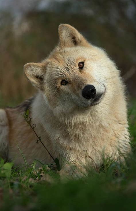 Smiling Wolf the smiling wolf wishing you all a beautiful day be