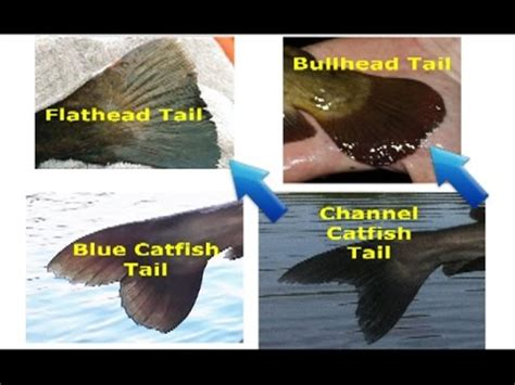How Catfish Finds How To Identify Catfish Flathead Blue Channel White Catfish Bullhead And Other