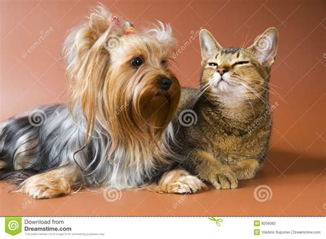 yorkie and cats of breed terrier and cat stock photography image 8256082