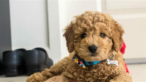 mini doodle breeders doodle country mini goldendoodle puppies family raised