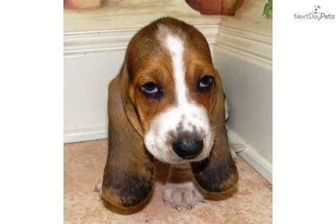 basset hound puppies houston basset hound puppy for sale near houston 29eb2f55 8bd1