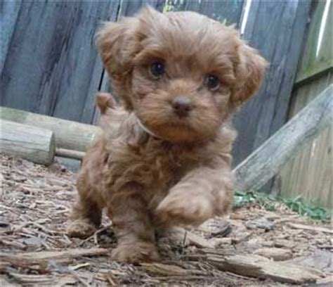 teacup poodle shih tzu mix for sale best 25 shih poo ideas on shih poo puppies shipoo puppies and shih tzu
