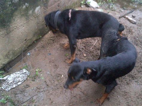 rottweiler 1 month rottweiler puppies 4 months merry photo