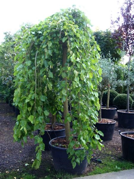 morus alba pendula is a popular ornamental plant also commonly known as weeping white