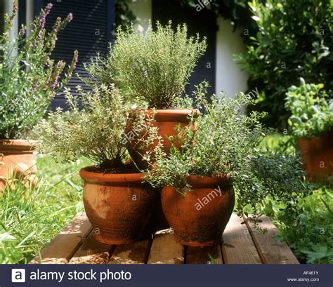 Terracotta Garden Planters by Fresh Herbs In Large Terracotta Pots In Garden Stock Photo