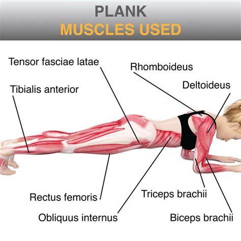 plank exercise diagram learn your muscles the plank work it out
