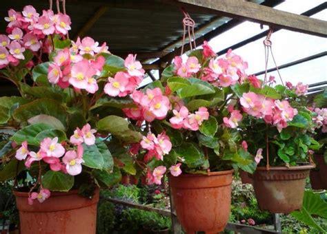 Pupuk Untuk Bunga Begonia tanaman hias gantung berbunga bibitbunga