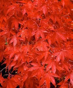 soerna wallpaper japanese maple tree meaning