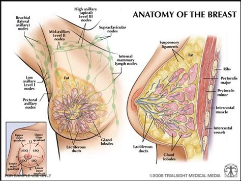 diagram of the breast anatomy of the breast thinking pink