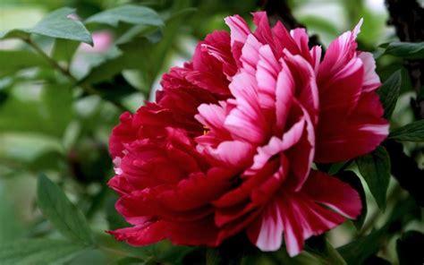 tipi di fiori e significato significato peonia significato dei fiori fiori peonia