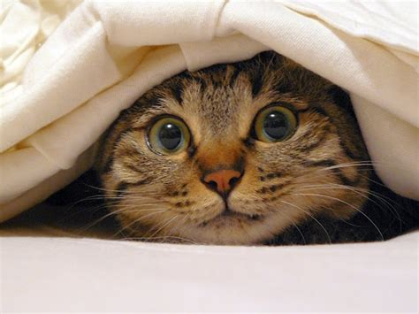 cat hiding under bed cute cat hiding under cover bed sheets petco retail