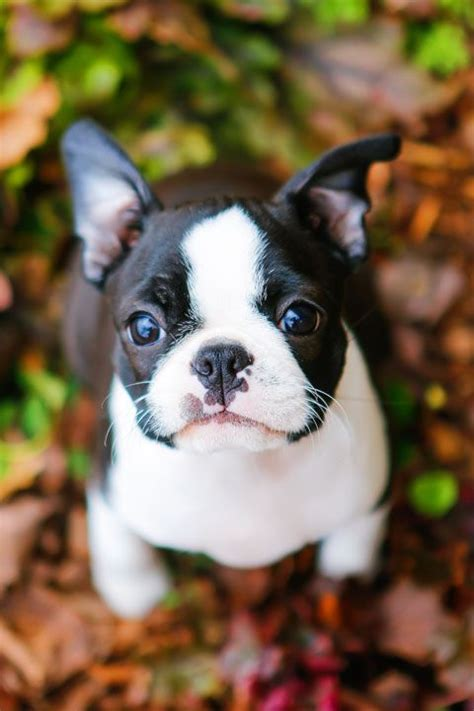 pug weight calculator winnie the boston terrier puppy 12 weeks terrier puppies and calculator