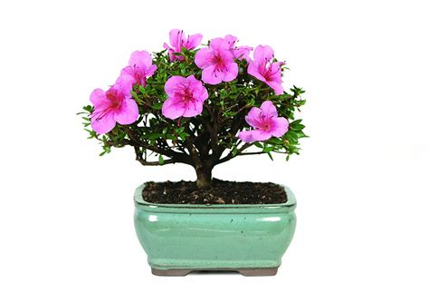 flowering plants archives indoor plant tips com