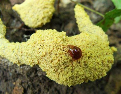 vomit slime mold vomit slime mold scrambled egg slime mold mdc discover nature