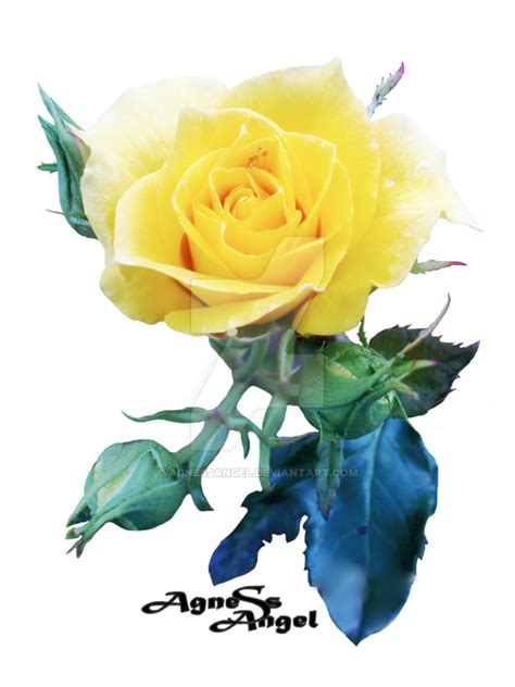 yellow rose flower png transparent images