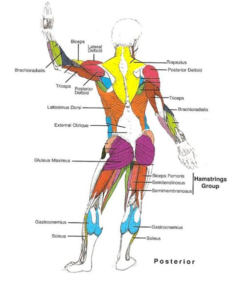 muscles of the diagram muscles diagrams diagram of muscles and anatomy charts