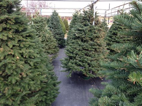 glt s grow best christmas tree picks wglt