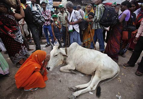 What Is Cowhide Mainly Used For by Cow Slaughter Is Mainly Bull
