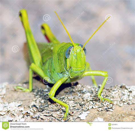imagenes de grillos verdes grillo verde immagine stock immagine 5254851