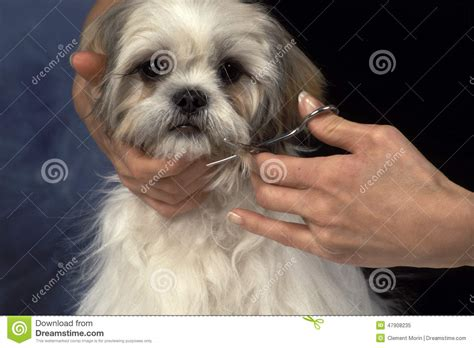 how to cut a shih tzu beard grooming a dog stock photo image 47908235