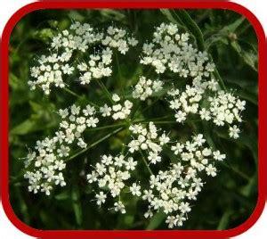 piante con fiori bianchi profumati pianta ricante con fiori bianchi profumati duylinh for