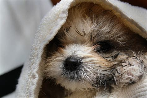 shih tzu hair growth stages nurturing your shih tzu from puppyhood to adulthood shih tzu daily